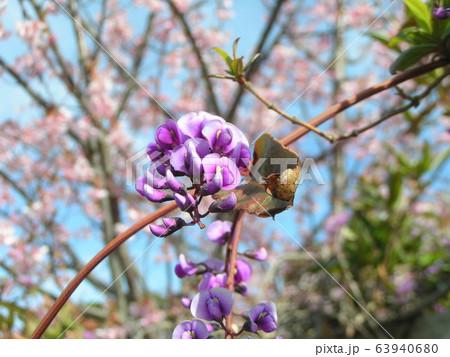 この紫色の花のつる性植物はハーデンベルギア 63940680