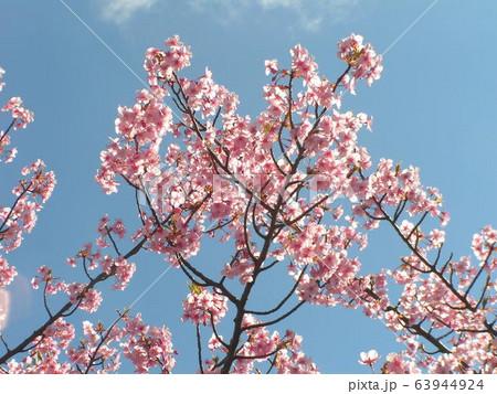 満開の稲毛海岸駅前カワヅザクラの花 63944924