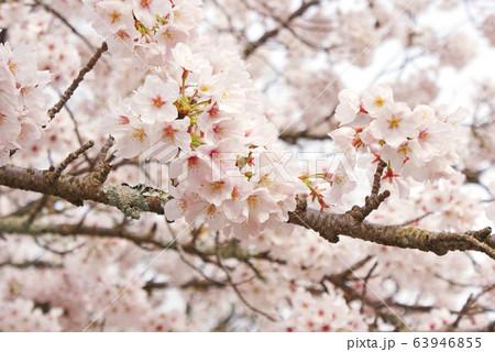 桜 63946855