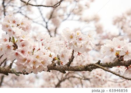 桜 63946856