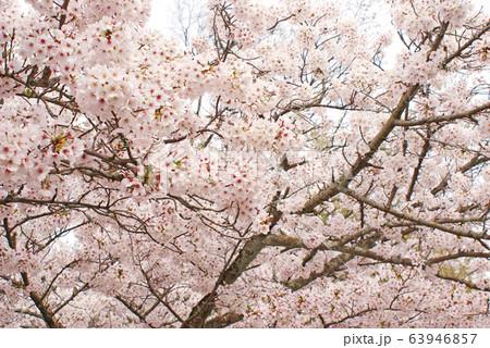 桜 63946857
