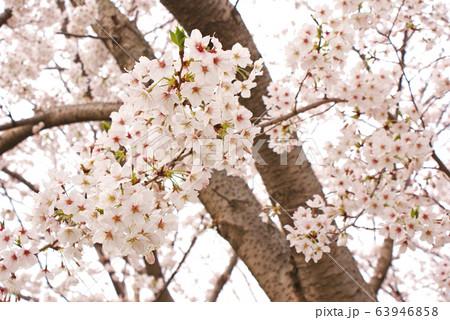 桜 63946858