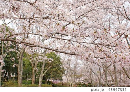 水間公園の桜 63947355