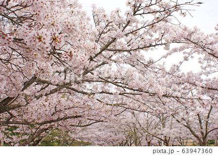 水間公園の桜 63947360