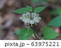 オドリコソウ 63975221