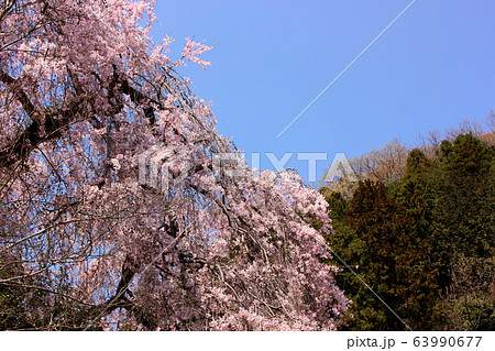 真っ青に晴れた日の梅岩寺のシダレザクラ(1) 63990677