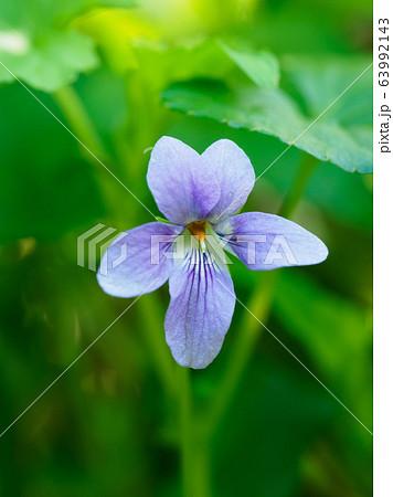 春の野に咲く可憐なタチツボスミレ 63992143