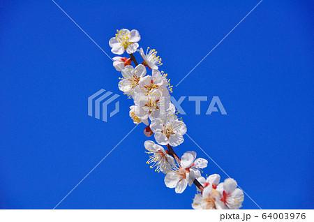 仙台農業園芸センター 碧空に映える薄桃色の梅の花 64003976