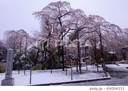 宇都宮市 祥雲寺のしだれ桜と積雪 64004551