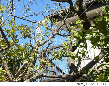 我が家の梅ノ木の梅の実 64010714
