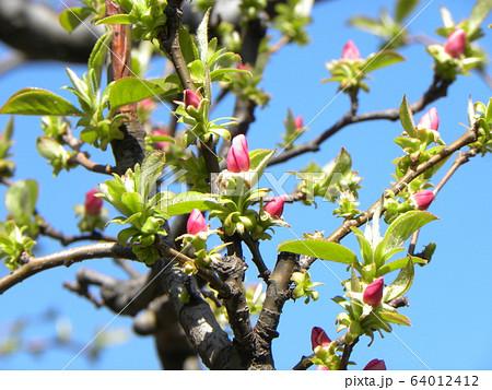 沢山咲いたカリンの桃色の花 64012412