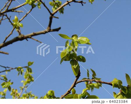 柿の木の若葉 64023384