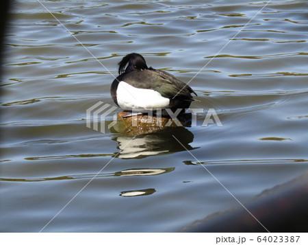 千葉公園綿打池のキンクロハジロ 64023387