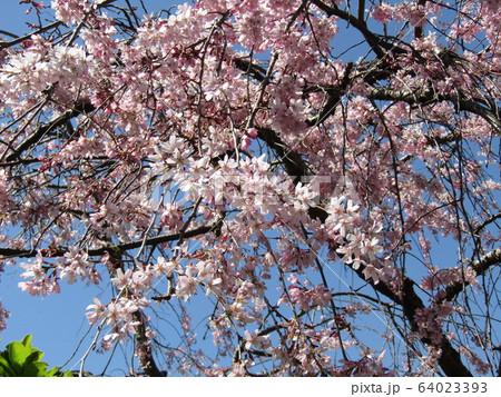 桃色のシダレザクラがきれいです 64023393
