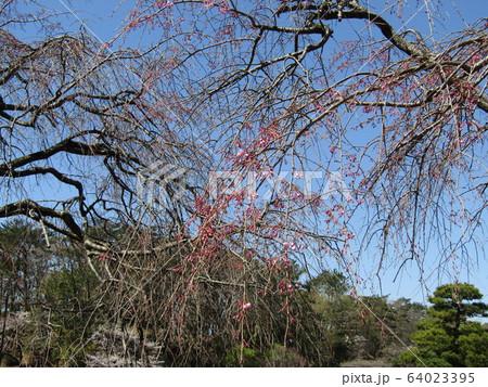 桃色のシダレザクラがきれいです 64023395
