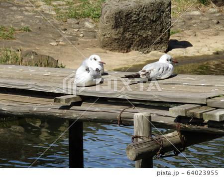 千葉公園綿打池のユリカモメ 64023955