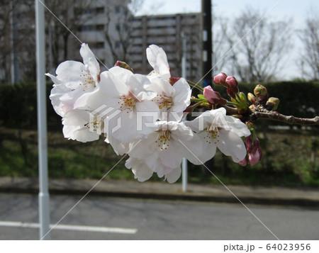 こじま花の会花畑のオオシマザクラの開花 64023956