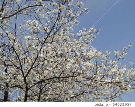 こじま花の会花畑のオオシマザクラの開花 64023957