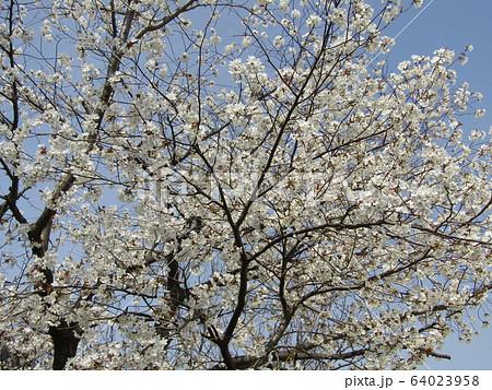 こじま花の会花畑のオオシマザクラの開花 64023958