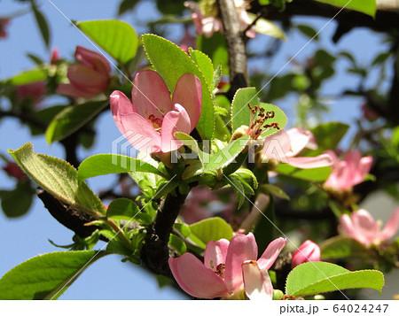 桃色の花はカリンのの花 64024247