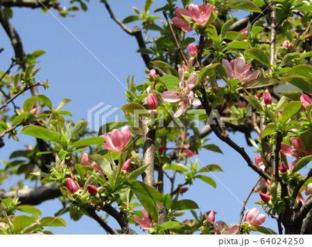 桃色の花はカリンのの花 64024250