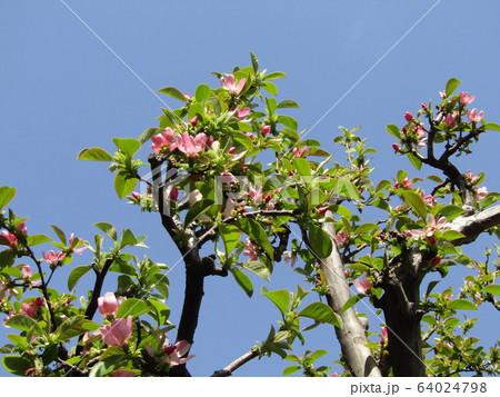 桃色の花はカリンのの花 64024798
