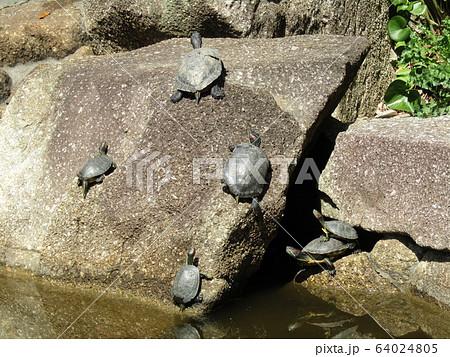 稲毛海浜公園の池に亀さん 64024805