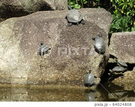 稲毛海浜公園の池に亀さん 64024808