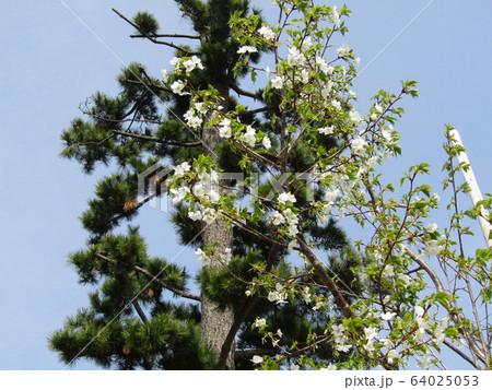 こじま花の会花畑のヤマザクラの開花 64025053
