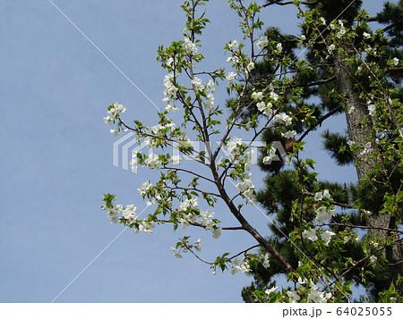 こじま花の会花畑のヤマザクラの開花 64025055