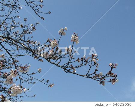 こじま花の会花畑のヤマザクラの開花こじま花の会花畑のヤマザクラの開花 64025056