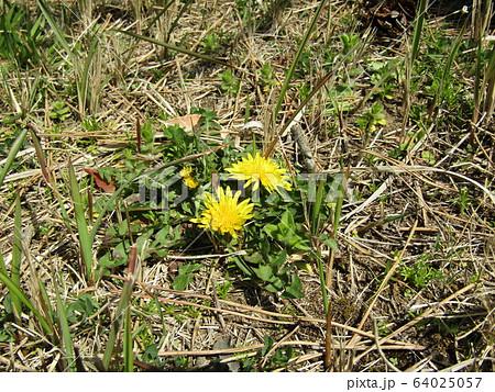 芝生に可愛い黄色い花はタンポポの花 64025057