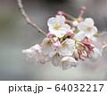 ソメイヨシノ 64032217