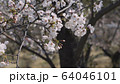 桜 ソメイヨシノ 64046101