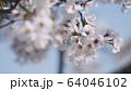 桜 ソメイヨシノ 64046102