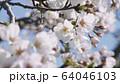 桜 ソメイヨシノ 64046103