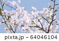 桜 ソメイヨシノ 64046104