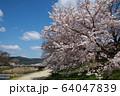 満開桜 64047839