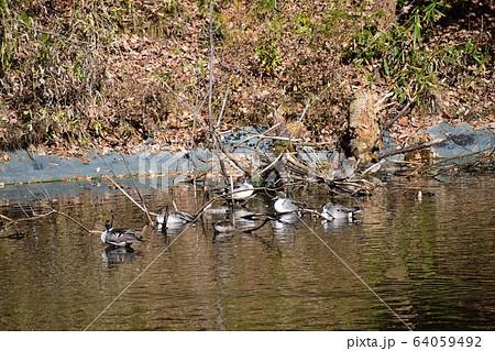 池のほとりのカモ類 オナガガモとコガモ 64059492