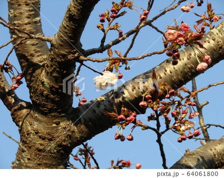 開花日の遅い八重桜の花が咲き始めています 64061800
