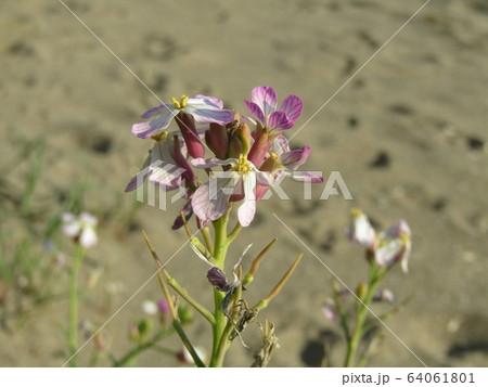 海岸の紫色の花はハマダイコンの花 64061801