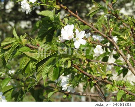 花見川河口の山桜の花 64061802