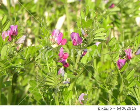 紫色の花カラスノエンドウ 64062918