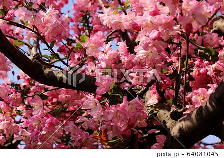 春に花開く妙正寺川沿いの美しいハナカイドウ(2) 64081045