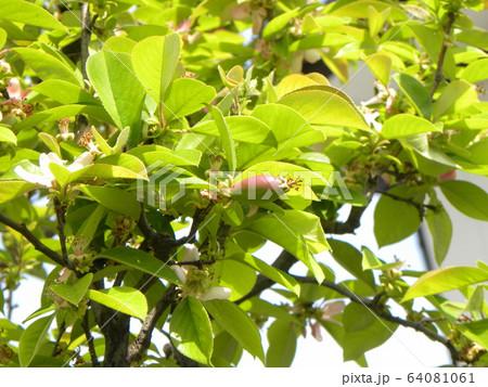 カリンの桃色の花落ち始め実になり始めました 64081061