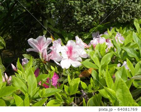 四月に咲くのはツツジの桃色の花 64081769