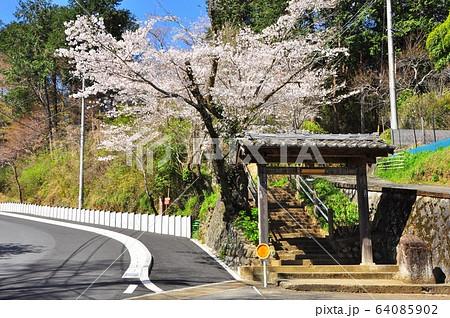 神奈川県厚木市 飯山観音(長谷寺)参道の門と桜並木 64085902