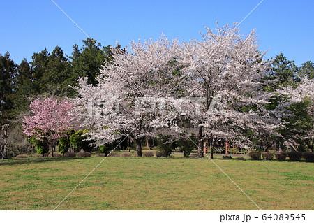 羊山公園の美しい満開の桜 埼玉県秩父市 64089545