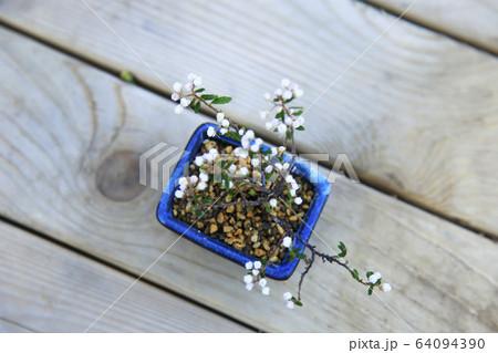 小さく可愛い花が咲いた天皇梅盆栽 64094390