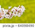 おの桜づつみ回廊 64098490